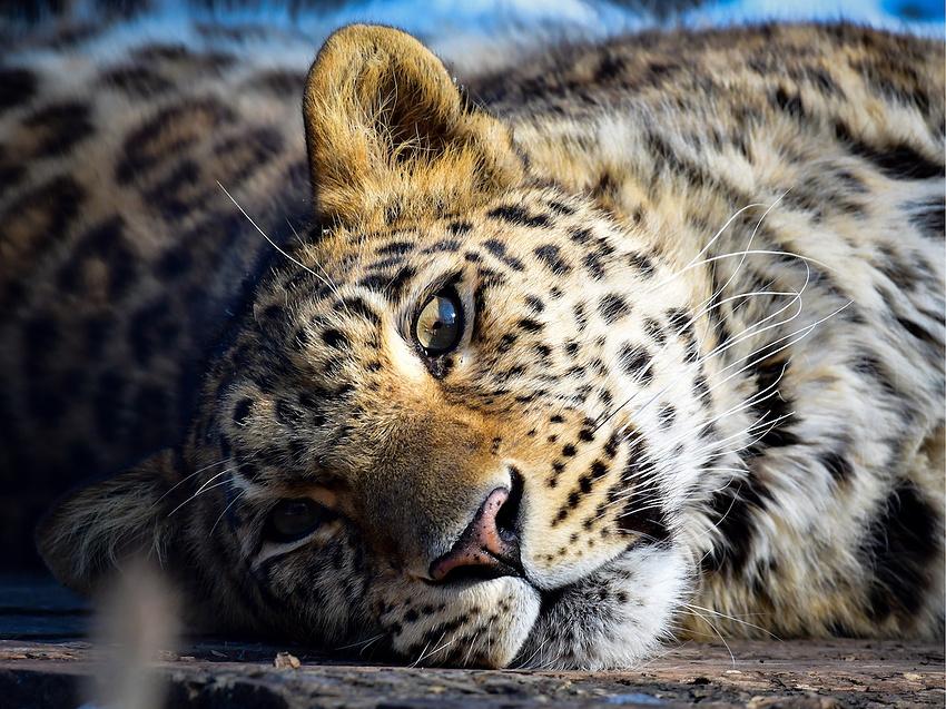 Особое мобильное приложение несомненно поможет опознавать браконьеров на«Земле леопарда» вПриморье